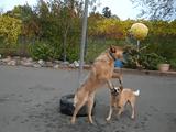 何だコレ超楽しい!宙吊りのボールに鼻でアタックして遊ぶ犬