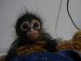 パイナップルを食べ過ぎて「ウップ」ってなってるサルの赤ちゃんが可愛い