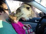 車の中からエサをあげられる動物園で小さい女の子からエサをもらってたラクダが勢い余って女の子の頭にかぶりつくハプニング映像