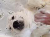 お風呂が気持ちよすぎて、「もうどうにでもなれ~」状態のゴールデンレトリバー