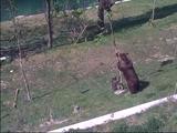 細い木に登って降りれなくなった子グマを助けるお母さんクマ