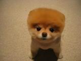 世界で一番カワイイかもしれない犬