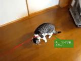 リードをつけられると動けないふりをするけど、おやつを投げると立ち上がる猫のまめちゃん