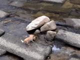 ひとりで出来るもん! 川の流れを利用して一人でボール遊びをするチワワ