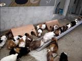 飼育員の合図で隣の部屋に一列になって移動するモルモット