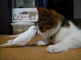 眠くて仕方ないネコの「ちゃまちゃん」と、遊びたくて仕方ないインコの「うーちゃん」