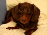 枕で遊んでいたチビダックスが飼い主さんに怒られて反則スレスレの「上目づかい」攻撃を繰り出す