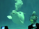 連続で「バブルリング」をつくるシロイルカ/飼育員さん「何個つくるかはイルカさんの気分次第となっております」