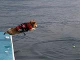 勇気をふりしぼって水面へジャンプするコーギー犬