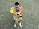 カウボーイが背中に乗ってる服を着てボール遊びをするロデオ・コーギー