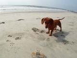 砂浜でカニさんと遊ぶチビダックス
