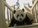 可愛すぎる!すべり台で遊ぶモコモコでふわふわの赤ちゃんパンダ