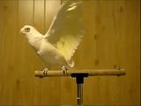 趣味はダンス。今日も音楽にあわせてノリノリで踊る白いオウム