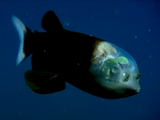 頭が透明の不思議な深海魚「デメニギス」の動く様子を捉えた映像