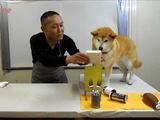 料理番組のアシスタント役なのに徹底的に進行の邪魔をする柴犬のマリ殿