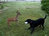 「黒いラブラドール・レトリバー」と「鹿」が庭でボール遊び