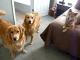 まるでジェットストリームアタック!2か月ぶりに帰ってきたお父さんを犬3匹が熱烈大歓迎♪