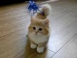 あれ?どこいったかニャ?猫じゃらしをすぐ見失うフワフワの子猫