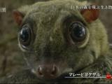 NHKスペシャル <ホットスポット 最後の楽園 season2> 第5回 「巨木の森 空飛ぶ動物たち ~スンダランド・ボルネオ島~」