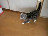 プチプチの袋を被ってパトロールするのがマイブームな猫