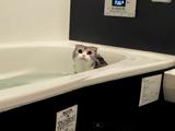 「あがるよ~」って言っても「ニャー」って言って拒否するぐらいお風呂が大好きな猫のふくたん