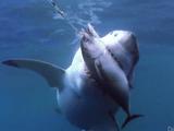 凄い迫力!巨大なホオジロザメが満腹になるまでマグロを与え続ける実験映像