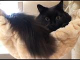 はじめてのハンモックで可愛いポーズを決める猫のしおちゃん