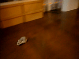 光の速さでリビングを疾走するハムスター