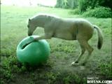 馬がバランスボールで大はしゃぎ