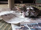 子猫が荒ぶりすぎて新聞が読めない