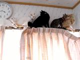 カーテンレールの上で子猫が5匹ほど渋滞中。何を思ったか先頭の子がバックし始めたからさあ大変