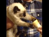 猫「アイスクリームは渡さない。絶対にだ。」