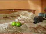 青りんご vs 子猫