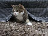 こたつの中に隠れて獲物を狙うネコのまるちゃん