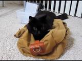 飼い主さんワールド炸裂!「黒やどかり」という設定で遊ばされる猫のしおちゃん