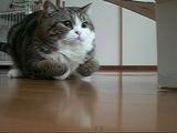 ジャンプする前は必ず前足を折りたたむ猫のまるちゃん