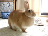 機嫌が悪くて「足ダン」するウサギのミカンちゃん
