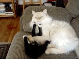 大人の猫さんにちょっかいを出しすぎて「ぎゃふん」と言わされる子猫