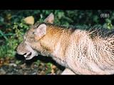 NHK・ETV特集「見狼記 ~神獣ニホンオオカミ~」