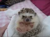 ぷぅ~す!ハリネズミの赤ちゃんが「起きあがれない!」