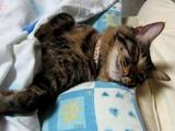 おなかを出して寝るネコに布団をかけてあげる優しい飼い主さん