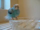 ちょっぴり「水浴び」が下手っぴなセキセイインコがあみ出した自己流の「水浴び」がカワイイ