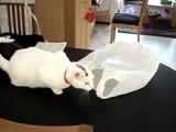 ビニール袋で遊んでいたら取っ手の部分が首にひっかかってパニックになる猫