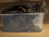 ぽっちゃり猫のまるちゃんが小さなプラスチックの箱に無理やり入ってムニュ~ってなってる