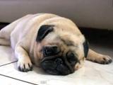 """""""悲しい顔""""と""""嬉しい顔""""を交互に表現するパグ犬"""