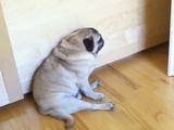 ぺたんって座りながら睡魔と戦うパグ犬が可愛い