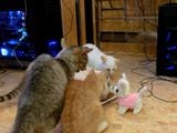 お食事中のネコさんたちに突撃してネコパンチされまくりなチワワ型のロボット犬「チワン」くん