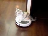 お掃除ロボット「ルンバ」に乗るマンチカンのくるみちゃん