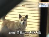 原発事故のせいで無人となった被災地の動物を救う、神戸のNPO団体の取組み/MBS毎日放送・VOICEの特集
