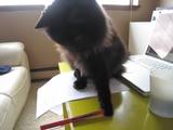 かまって欲しくて赤ペンをぶん投げる猫のしおちゃん